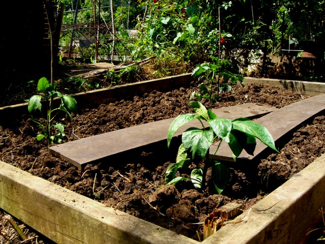 allotment-peppers