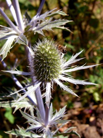 allotment-sea-holly-thistle-bee