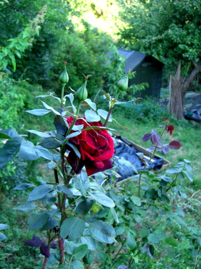 allotment-Upper-level-rose2