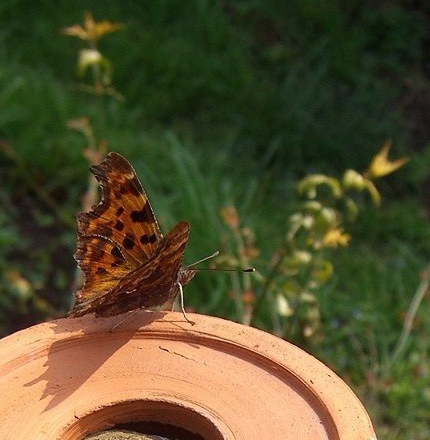 Allotment-butterfly-1