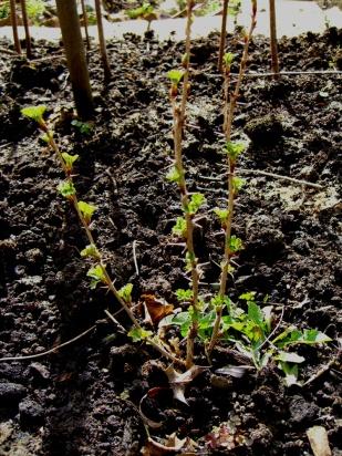 allotment-gooseberry (1)