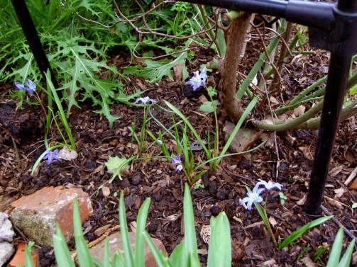 allotment- mysterysmallflower