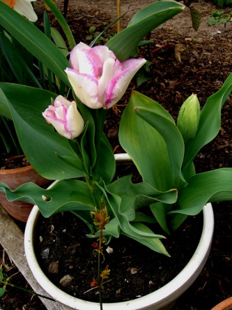 Allotment-tulip-pink1