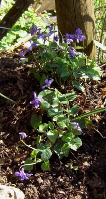 Allotment-violets-1