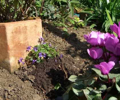 Allotment-violets-2
