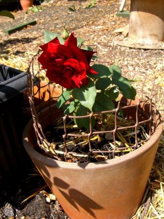 Allotment-rose-splices2
