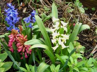 Spring hyacinth