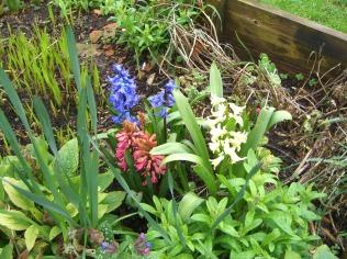 Spring hyacinth - LCCWoods