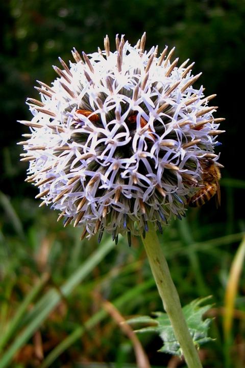 AthloneGardenBee-Beetles