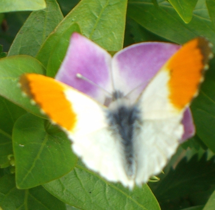 CIMG6829-Orange-Tip-male