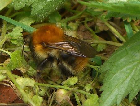 CIMG6842-TreeBumblebee-Bombus hypnorum