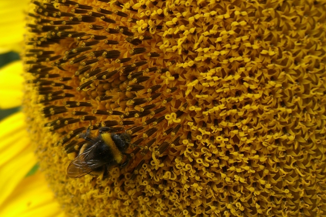 Sunflower-Bee-1