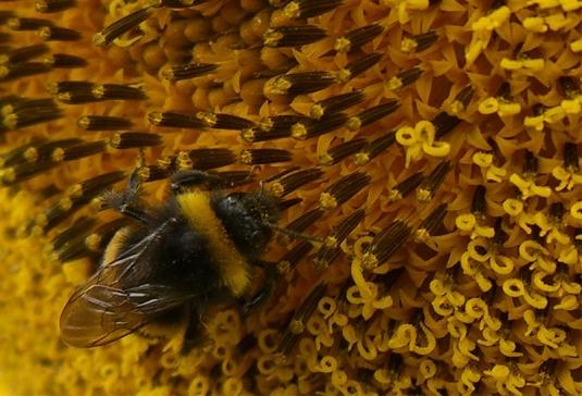 Sunflower-Bee-2