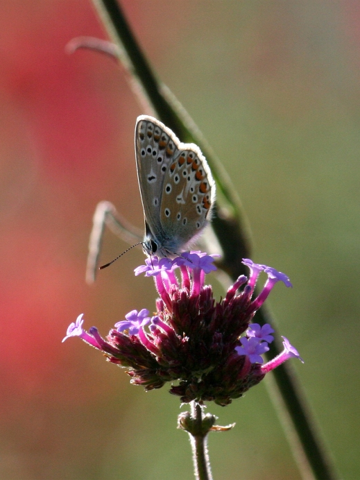 IMG_2682CommonBlue-female