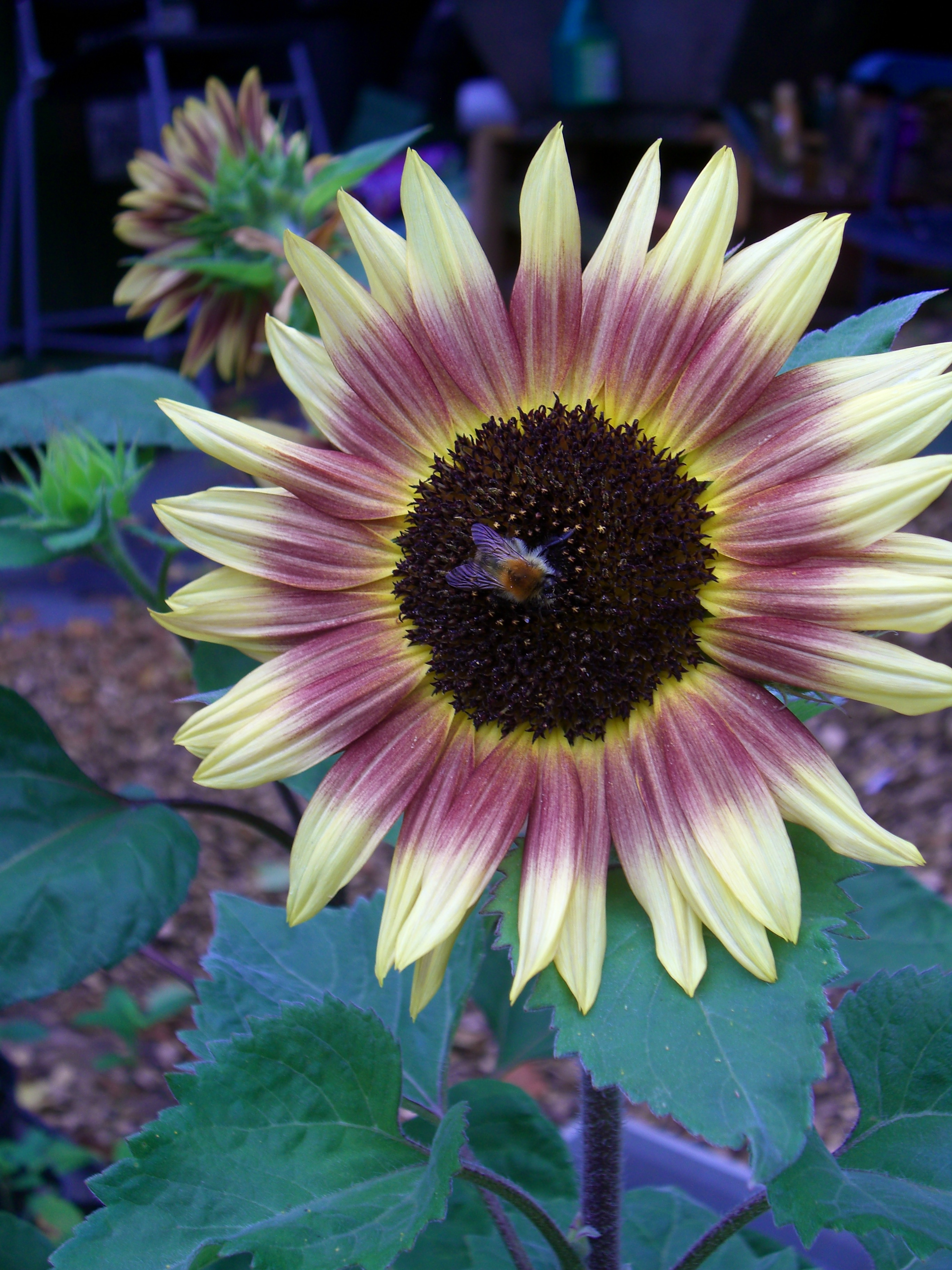 SunflowerBee3