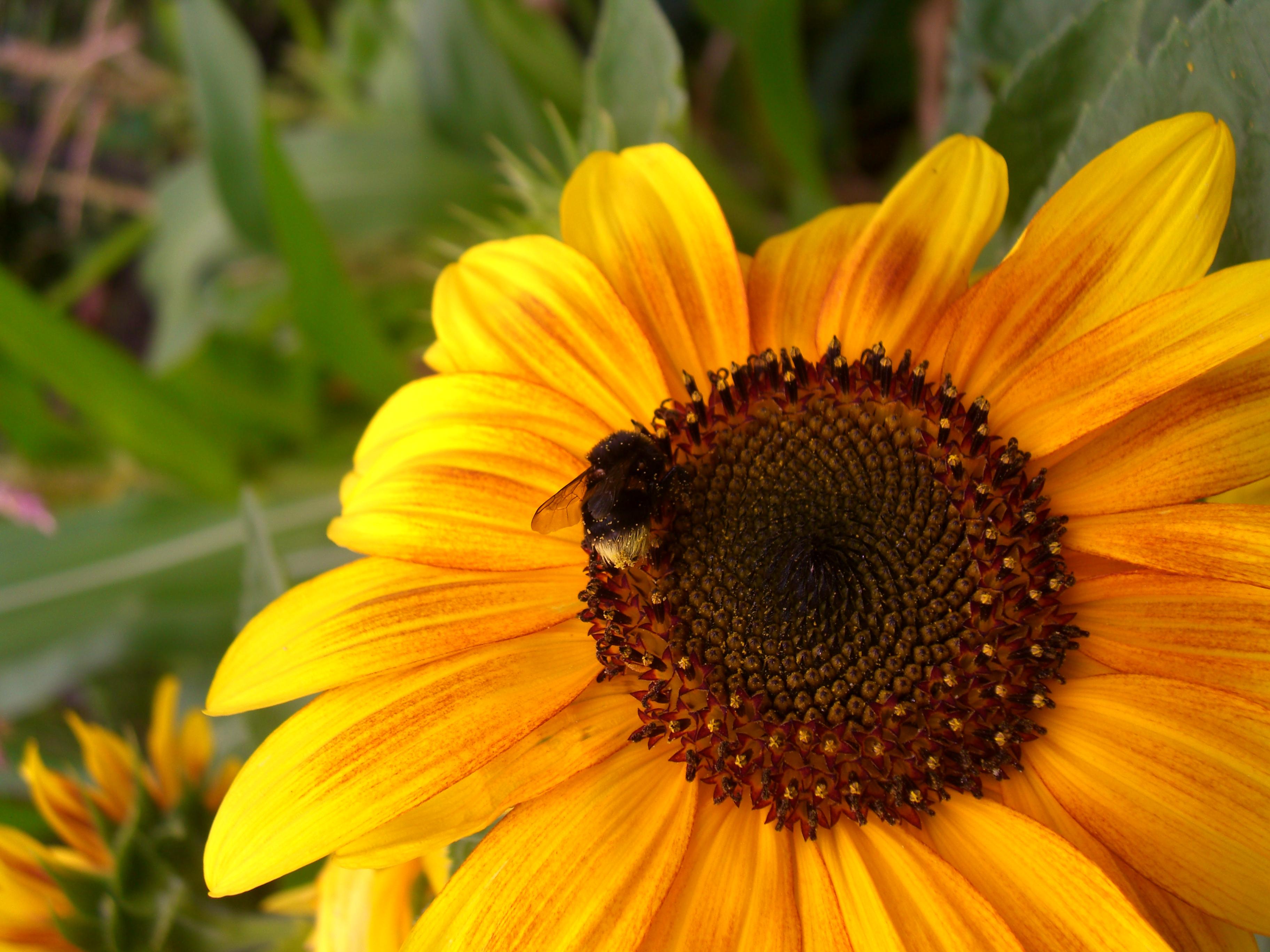 SunflowerBeePollen
