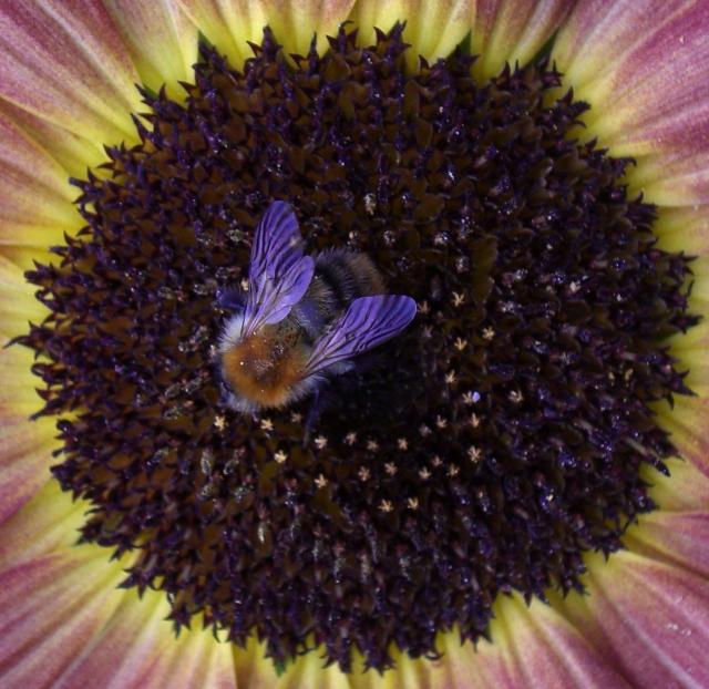 SunflowerBeeWings