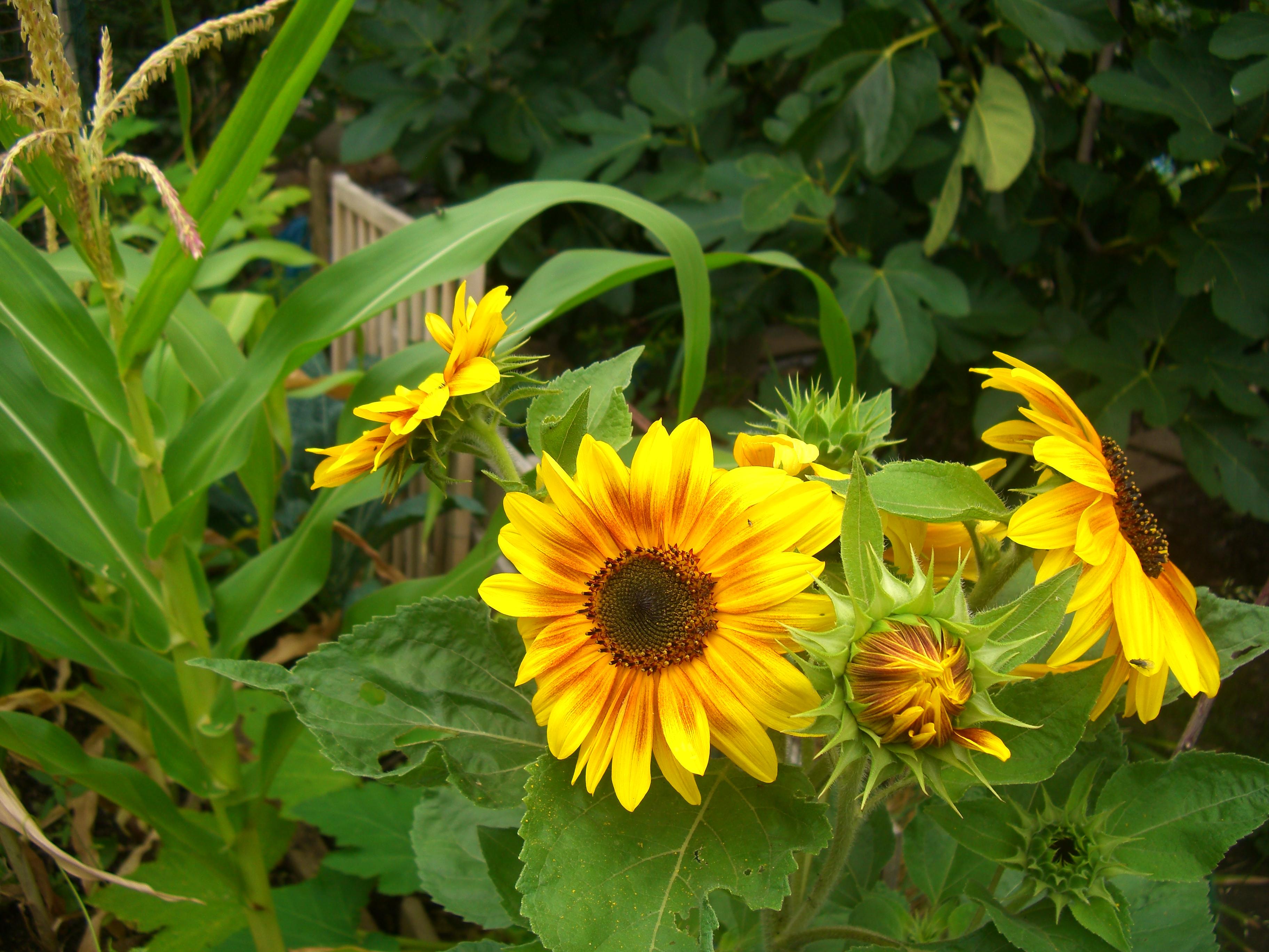 SunflowersCorn