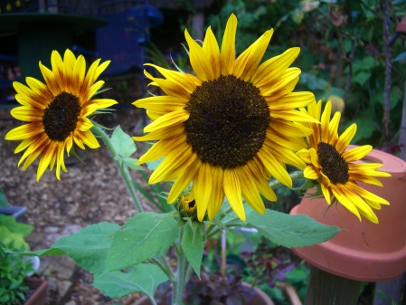 SunflowerTrio